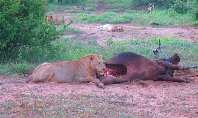lion and buffalo 2