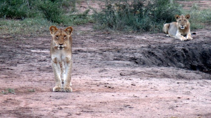 We stumbled upon these lions on our game drive. Next time we'll wear adult undergarments.