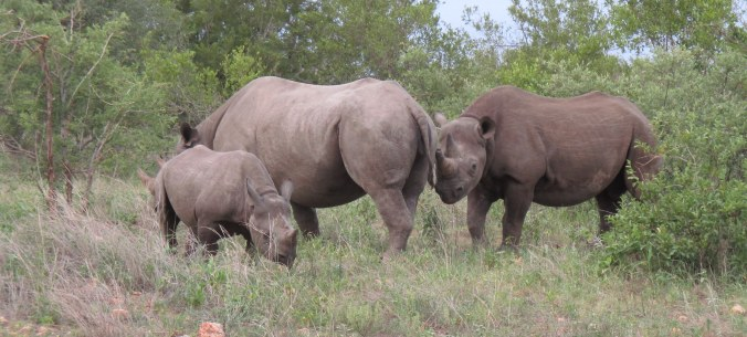 One of the first rhinos born in the wild in this reserve in almost two hundred years.