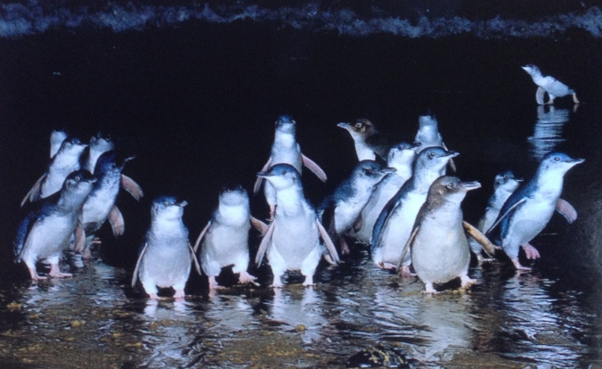 Penguin invasion at Phillip Island